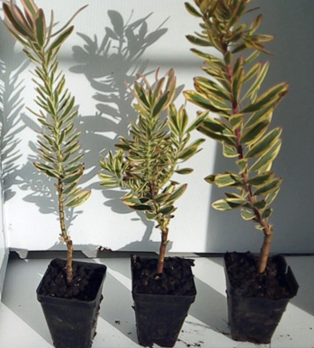 Lecodendron Jester