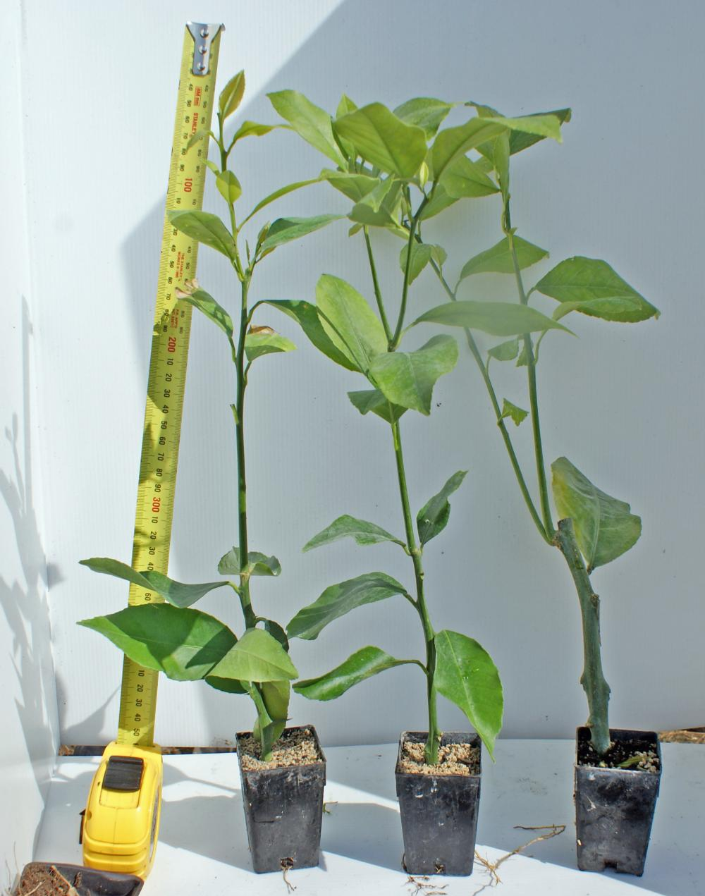 Rooted Lemon Meyer cutting