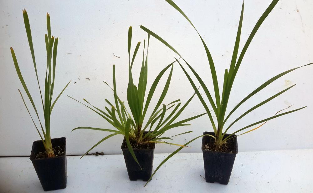 Lomandra longifolium syn L longifolia