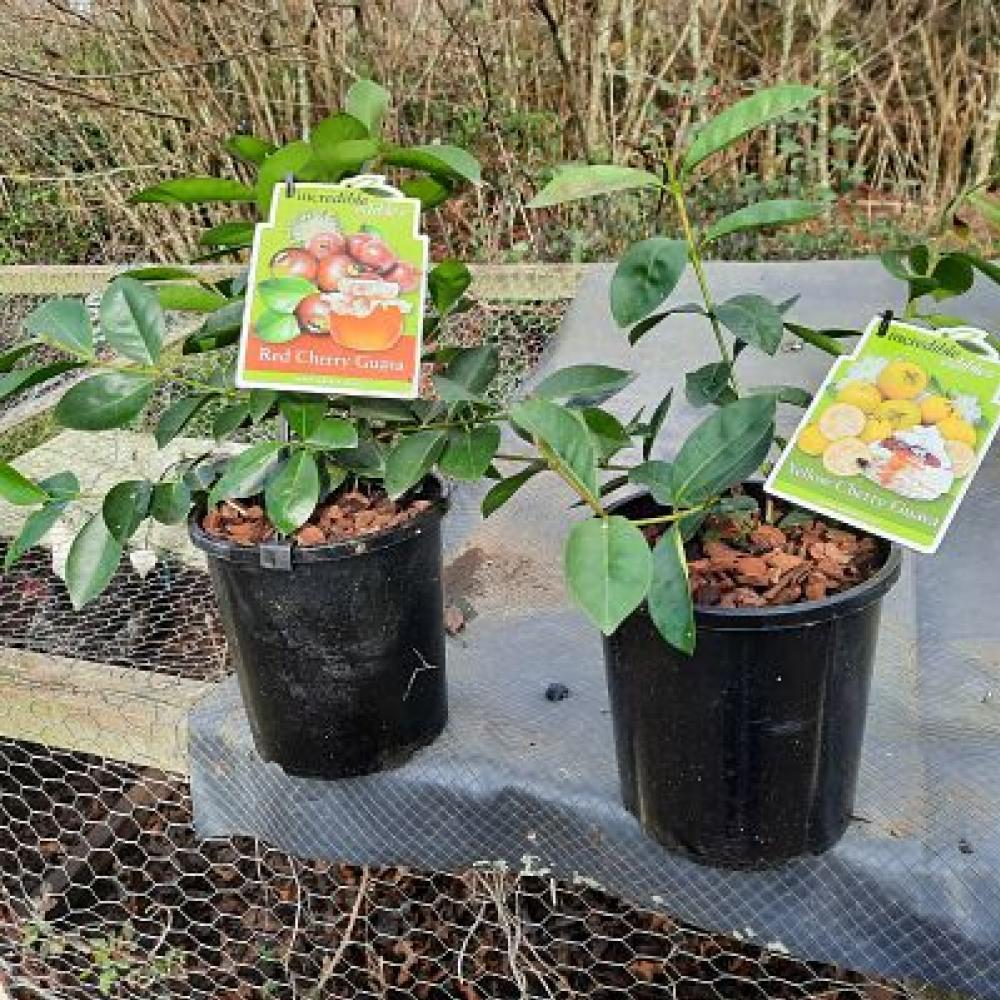 Guava Yellow Cherry Psidium cattleyanum