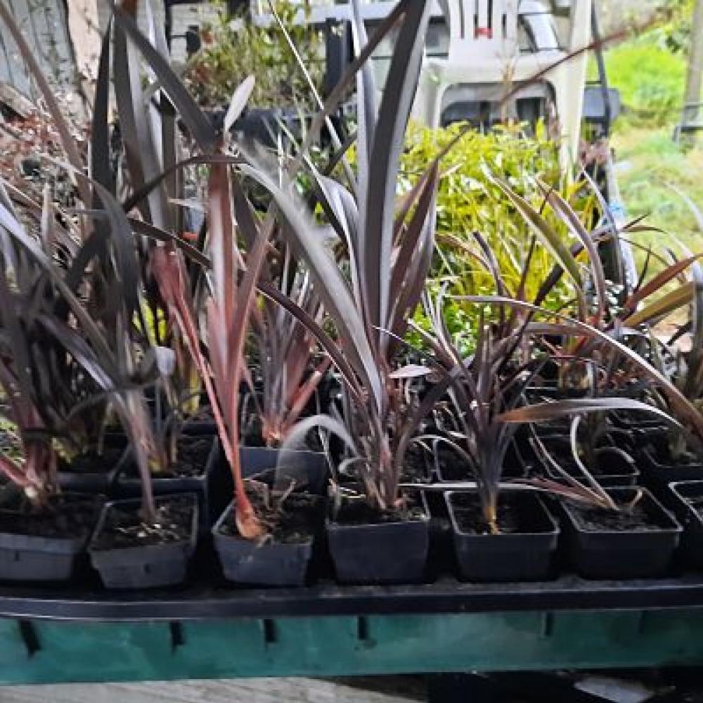 Phormium cookianum purpureum Mountain Flax (wharariki)