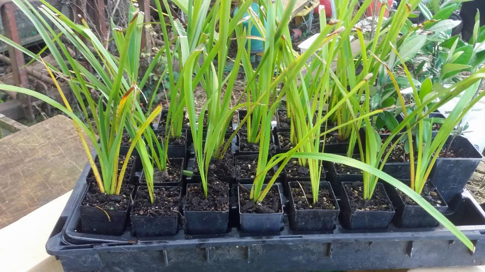 Phormium cookianum Mountain Flax Wharariki